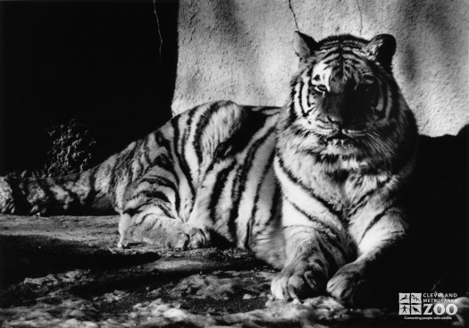 Amur (Siberian) Tiger Black and White