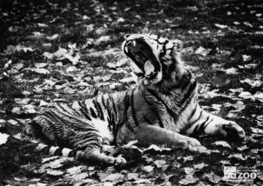 Amur (Siberian) Tiger Black and White Winter 1986