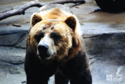 Bear, Grizzly Close-up5