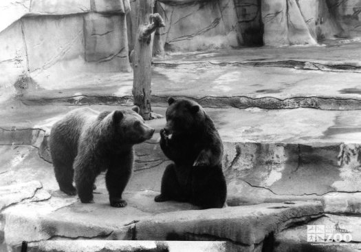 Bears, Grizzly4