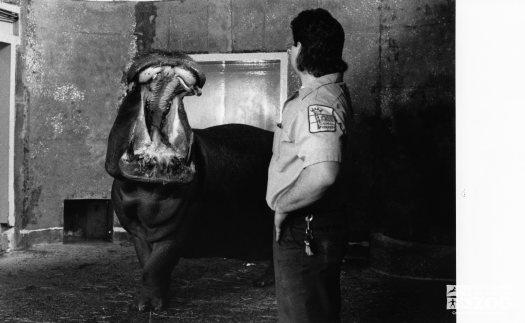 Hippopotamus, Nile Blackie