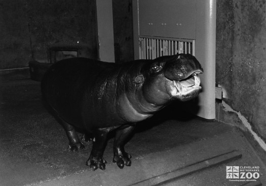 Hippopotamus, Nile