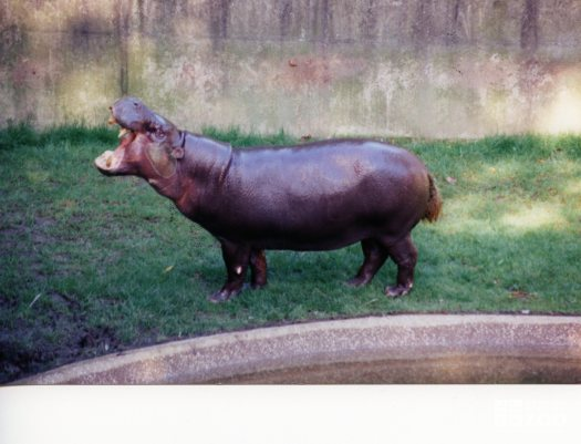 Hippopotamus, Nile5