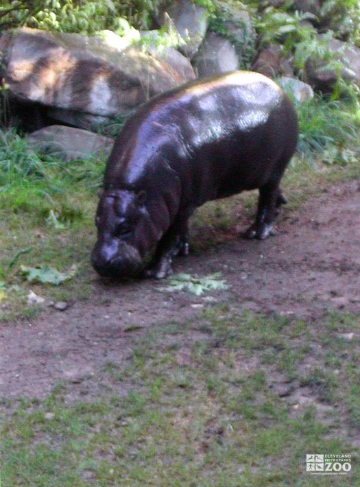 Hippopotamus, Nile7