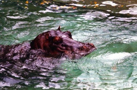 Hippopotamus, Nile13