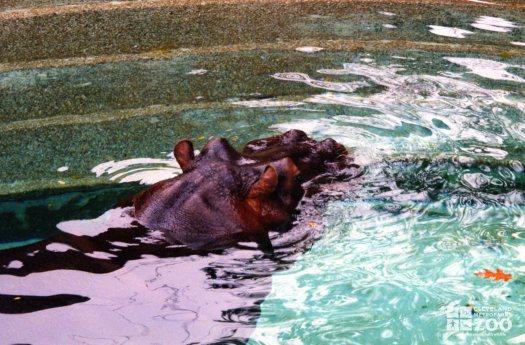 Hippopotamus, Nile16