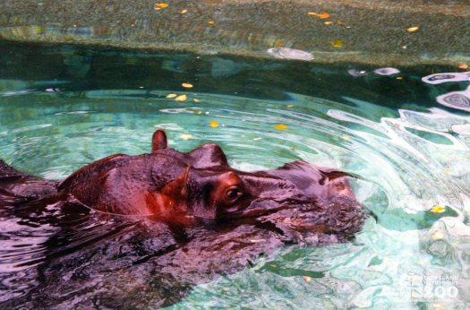 Hippopotamus, Nile18