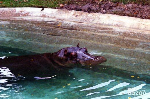 Hippopotamus, Nile19