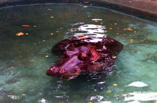 Hippopotamus, Nile20