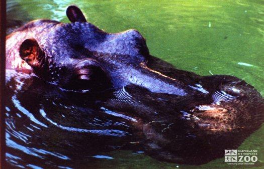Hippopotamus, Nile27