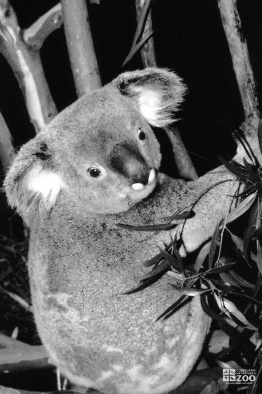 Koala, Queensland5