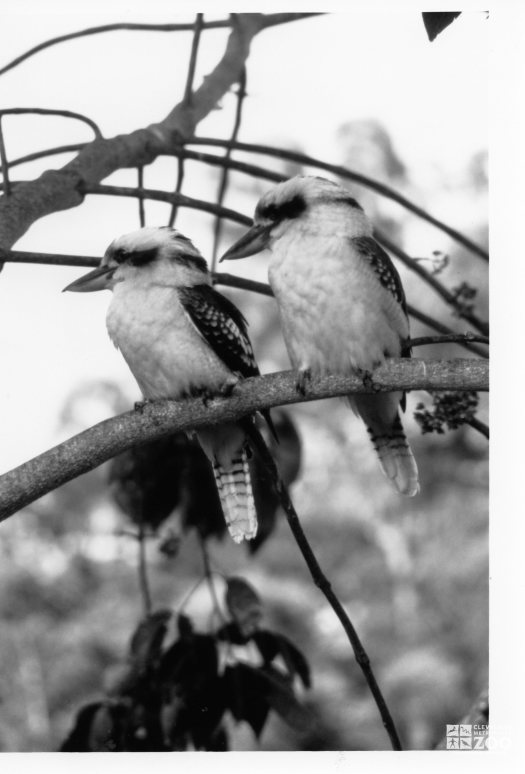 Kookaburra, Laughing