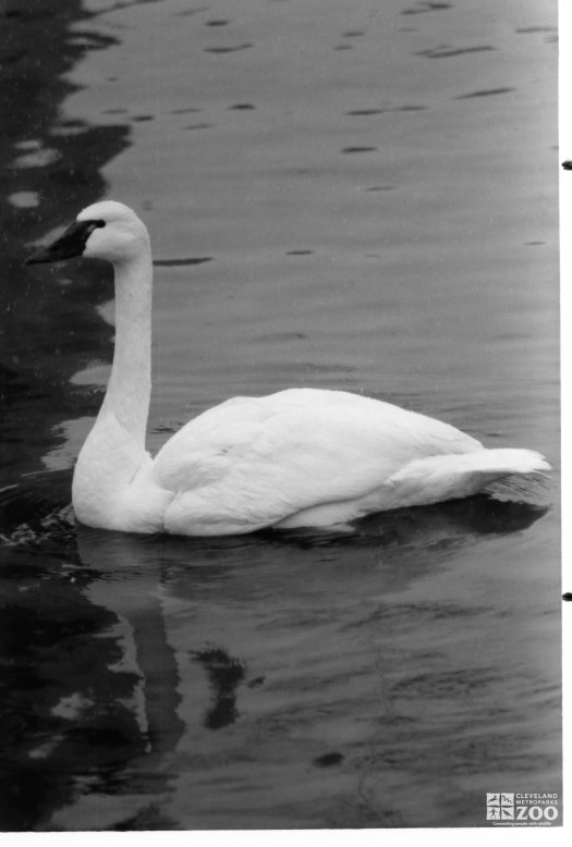 Trumpeter Swan Black and White 1987