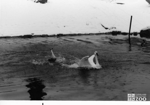 Trumpeter Swan Chased Into Lake 1987