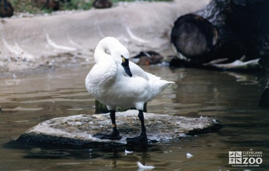 Trumpeter Swan Cleaning Feathers