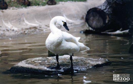 Trumpeter Swan In Profile
