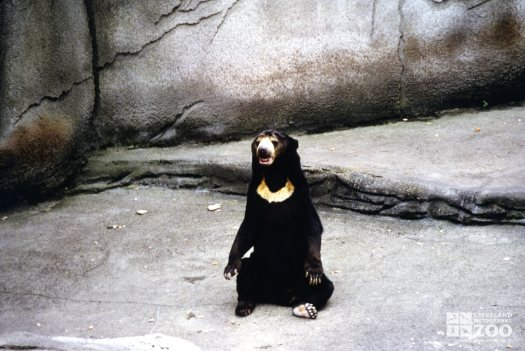 Malayan Sun Bear Sitting Up 1987