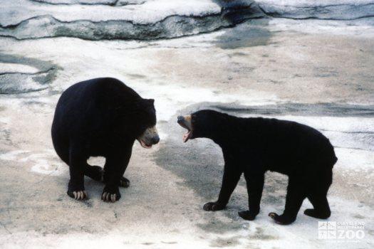 Malayan Sun Bears Talking To Each Other