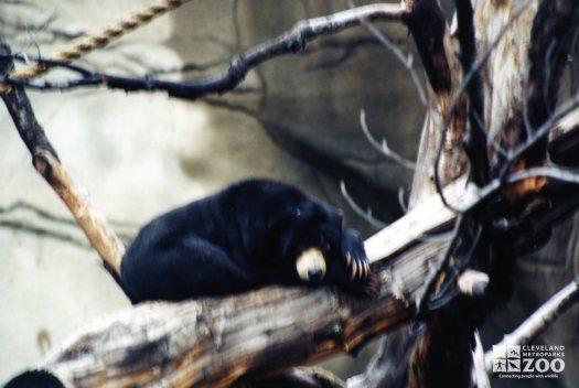 Malayan Sun Bear Sleeping In Tree