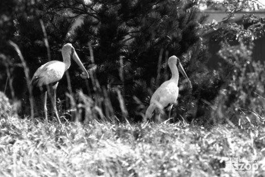 White Storks Walking In Field 2