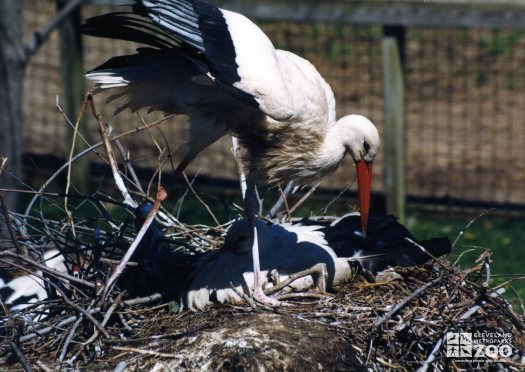 White Storks Tending To Nest