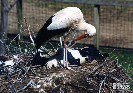 White Stork Bowing Head