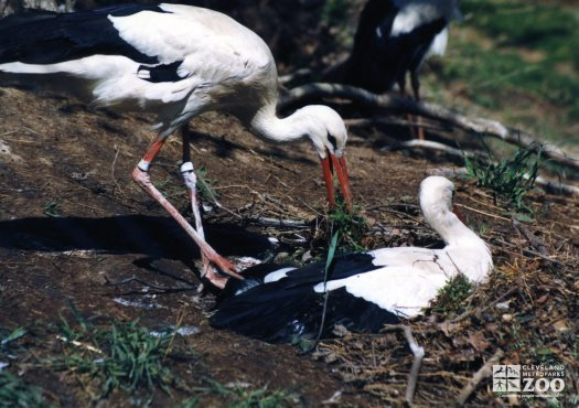 White Stork Eating Grass