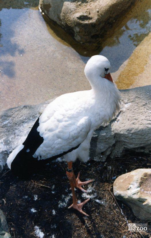 White Stork In Profile 2
