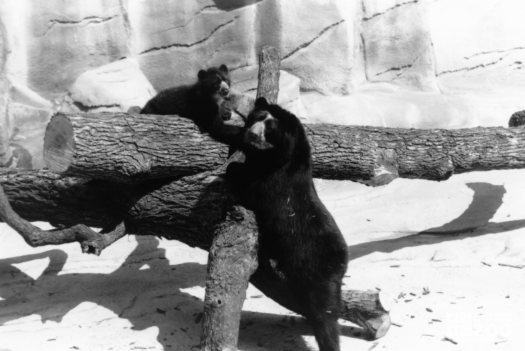Andean (Spectacled) Bear With Cub Black and White