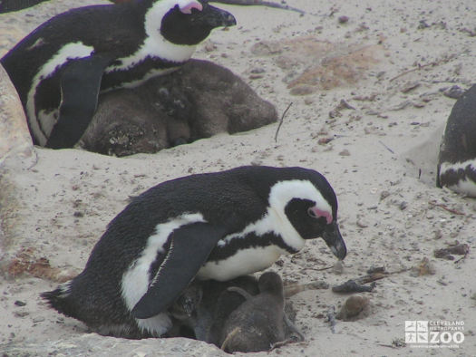 African Penguin Parent and Chicks