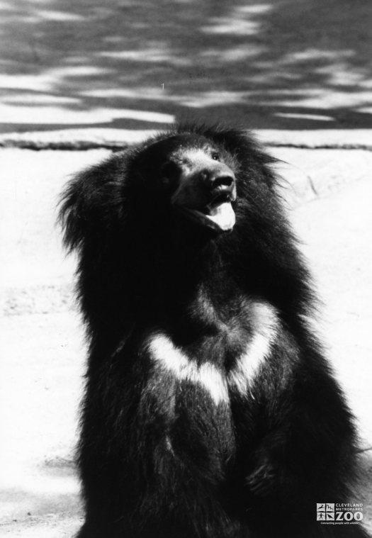 Sloth Bear Black and White Sitting Up 1983