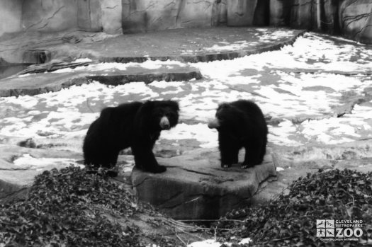 Sloth Bears Black and White Standing On Rock 1983