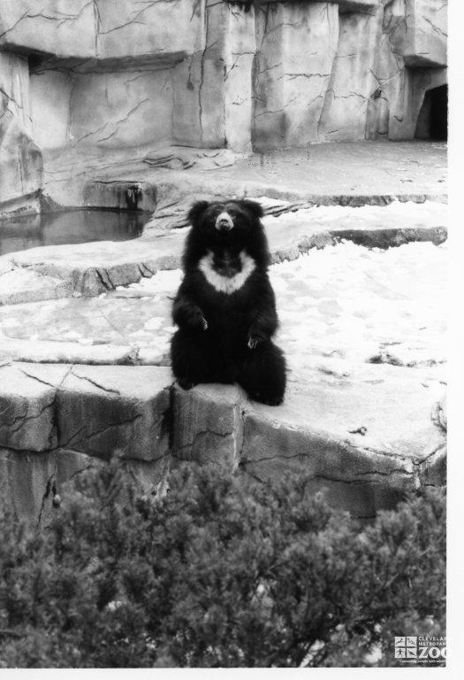 Sloth Bear Black and White Sitting Up 2 1983