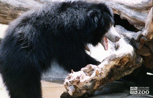 Sloth Bear Standing On Log