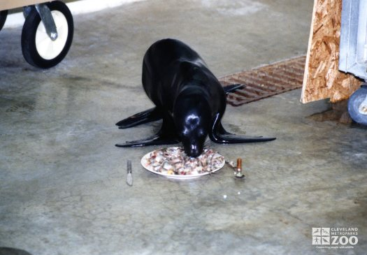 Harbor Seal Eating From A Plate