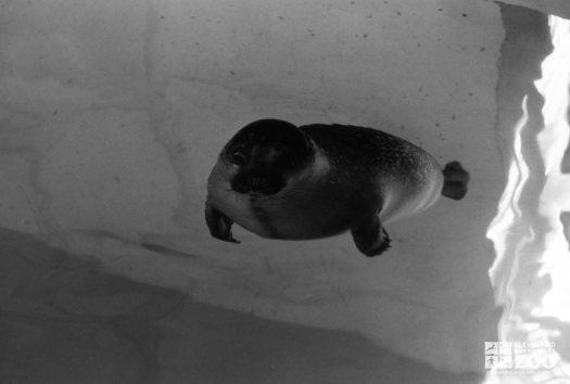 Harbor Seal Gliding Forward