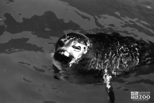 Harbor Seal Black and White Of Face