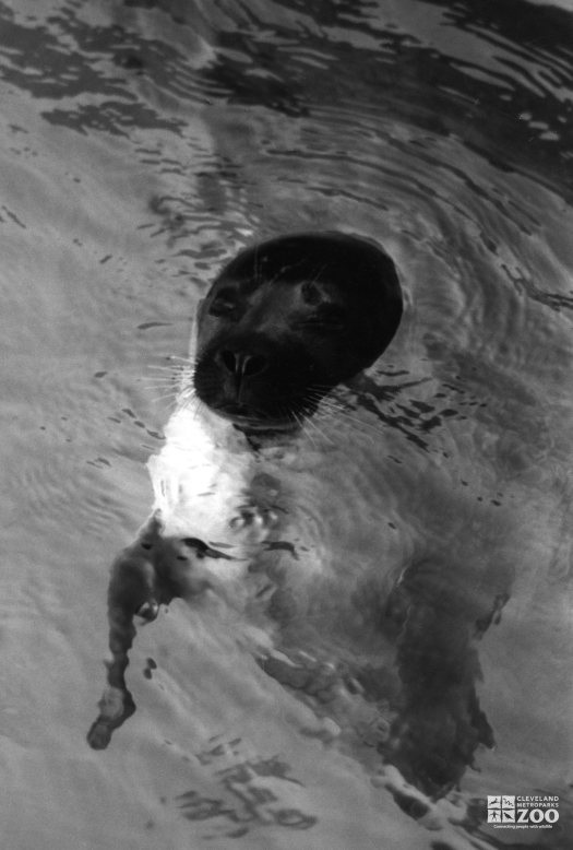 Harbor Seal Black and White Peeking Out Of Water