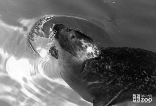 Harbor Seal Black and White Profile View