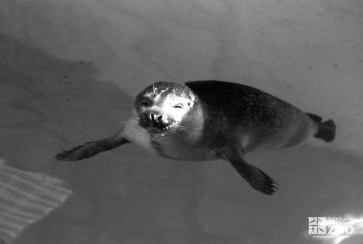 Harbor Seal Black and White Of Face 1986