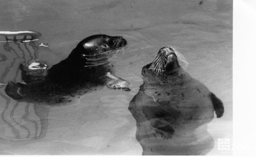 Harbor Seal With Sea Lion