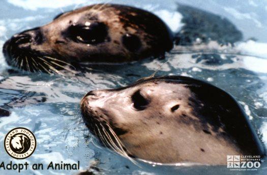California Sea Lions Peeking Heads Out Of Water