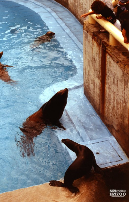 California Sea Lion Getting Fish