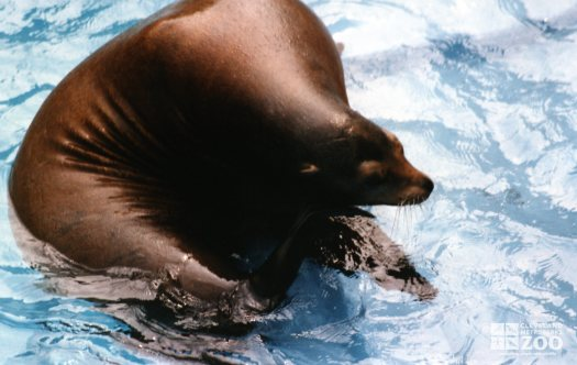 California Sea Lion Scratching An Itch
