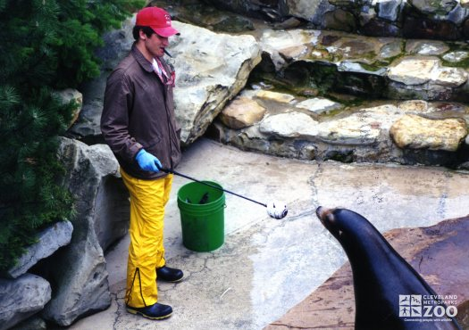 California Sea Lion Training With Keeper