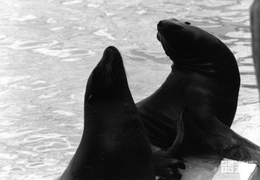 California Sea Lions In Profile Black and White 2