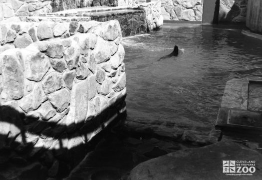 California Sea Lion Swimming In Exhibit