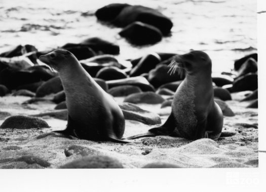 California Sea Lions Looking Left