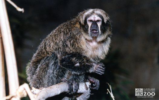 Pale-Headed Saki Sitting On Branch