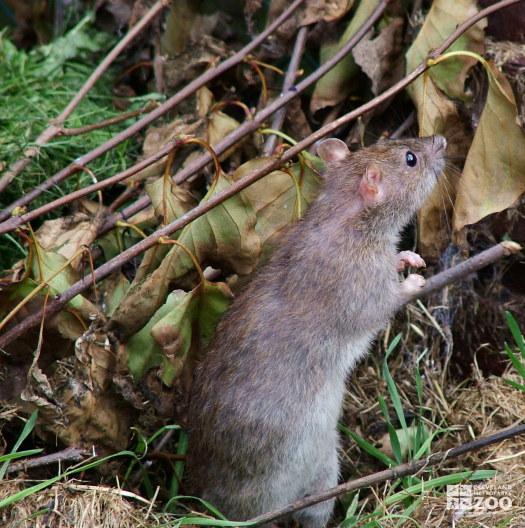 Norway Rat standing
